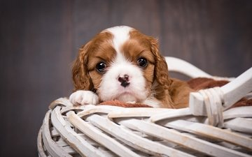 muzzle, look, dog, puppy, basket, spaniel, cavalier-king-charles-spaniel