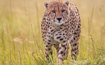 grass, predator, cheetah, wild cat