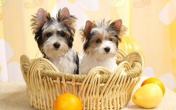 fruit, basket, puppies, dogs, york, yorkshire terrier