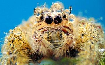 макро, капли, паук, паук-скакун
