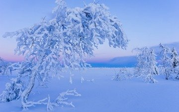 trees, snow, nature, winter, frost, lapland
