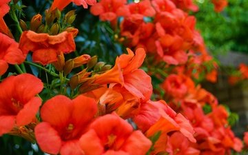 flowers, plant, red flowers, campsis
