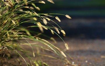 трава, природа, фон, колоски, травка