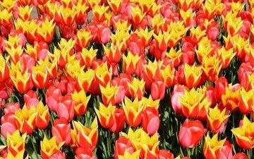 flowers, field, spring, tulips