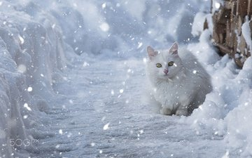 eyes, snow, winter, cat, muzzle, look