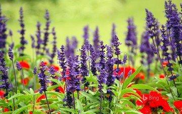 цветы, лаванда, маки, луг, австралия