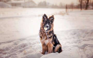 snow, winter, dog, puppy, the ball, german shepherd, j.wiselka