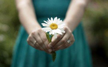 девушка, настроение, цветок, ромашка, руки, кольца