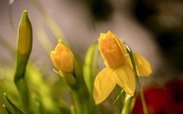 flowers, buds, macro, spring, daffodils, bokeh