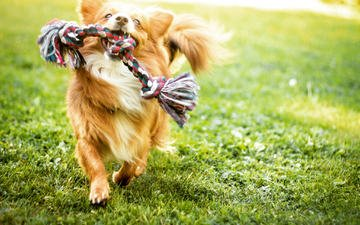 grass, muzzle, look, dog, toy, puppy, running