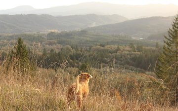 grass, mountains, landscape, dog, pine, tail