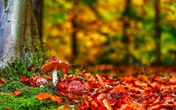 природа, лес, листья, осень, грибы, мухоморы