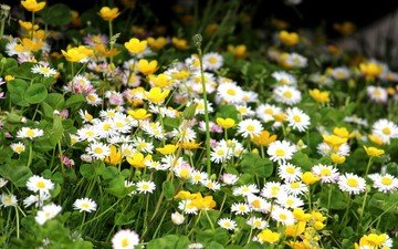 clover, chamomile, wildflowers, buttercups