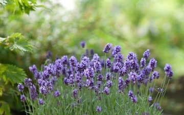 flowers, greens, lavender, bokeh