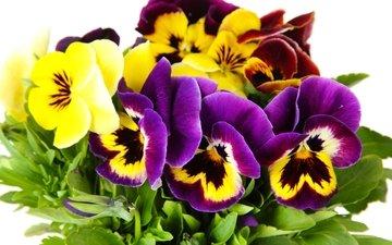 цветы, лепестки, анютины глазки, фиалка