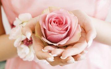 flower, rose, petals, bud, hands, palm, pink rose