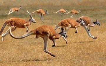 australia, running, kangaroo