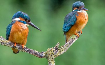 branch, birds, beak, pair, feathers, kingfisher