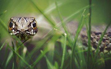 трава, взгляд, змея, рептилия, боке, гипноз