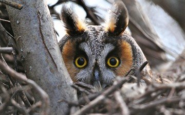 owl, branches, look, bird, head, long-eared owl, eyes