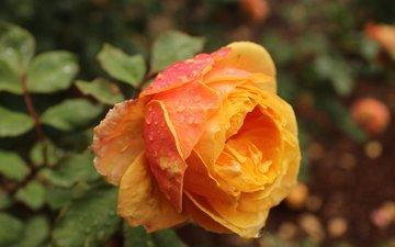 цветок, роса, капли, роза, лепестки, бутон, оранжевая