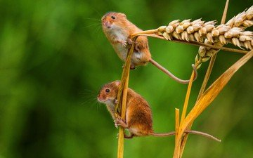 macro, ears, a couple, spikelets, mouse, the mouse is tiny
