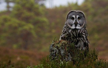 flowers, owl, bird, stump, great grey owl