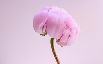 макро, цветок, лепестки, бутон, розовый, стебель, пион
