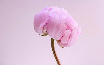 macro, flower, petals, bud, pink, stem, peony