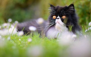 flowers, grass, cat, muzzle, mustache, look, pers, persian cat, yellow eyes