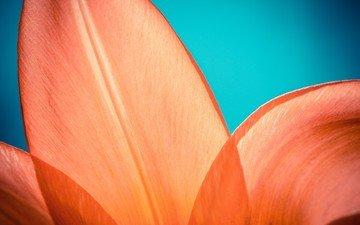 макро, цветок, оранжевый, лепесток