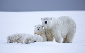 snow, winter, bears, polar bear, alaska, north pole