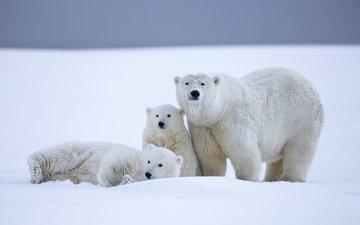 снег, зима, медведи, белый медведь, аляска, северный полюс, медвежата