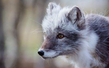 мордочка, взгляд, песец, полярная лисица, арктическая лиса