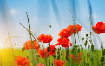 the sky, grass, nature, field, petals, red, maki, stems