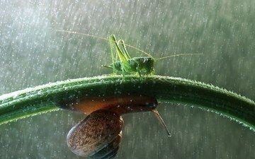 grass, drops, rain, snail, grasshopper