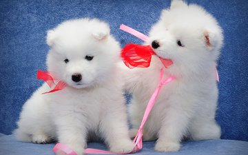muzzle, look, a couple, puppies, kids, ribbon, dogs, bow, samoyed, \