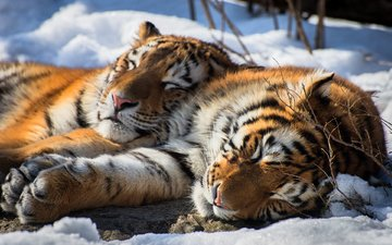 snow, sleep, pair, stay, wild cat, the amur tiger, tigers, cats love