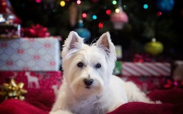 muzzle, look, dog, the west highland white terrier