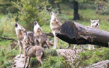лес, хищники, волки, стая, вой, стая волков
