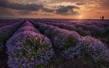 flowers, nature, sunset, landscape, field, lavender