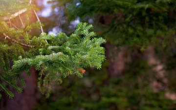 branch, tree, needles, macro, spruce