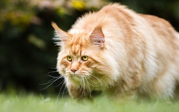 eyes, background, cat, mustache, look, red, maine coon
