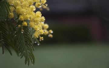 flowers, branch, leaves, drops, spring, mimosa, acacia silver