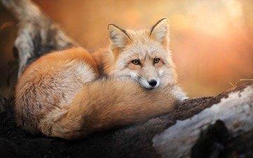 взгляд, лиса, хищник, лисица, хвост