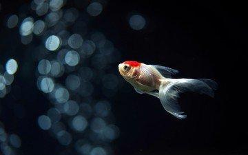 аквариум, золотая рыбка, рыба, подводный мир