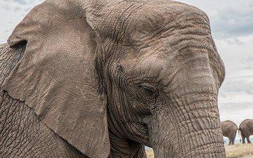 слон, уши, слоны, хобот
