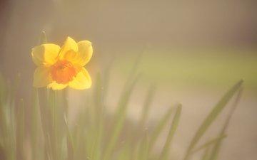 цветок, размытость, весна, нарцисс, angie middleton