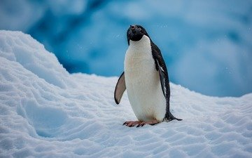 snow, bird, penguin, antarctica, penguin adelie