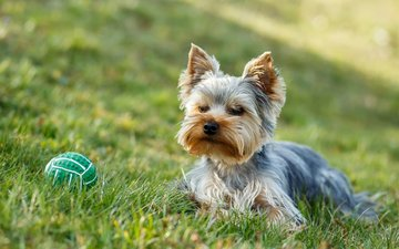 grass, dog, the ball, york, yorkshire terrier, artush